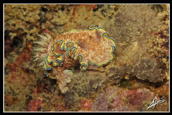 glossodoris cincta in Boonsung Wreck - Thailand by Adriano Trapani 